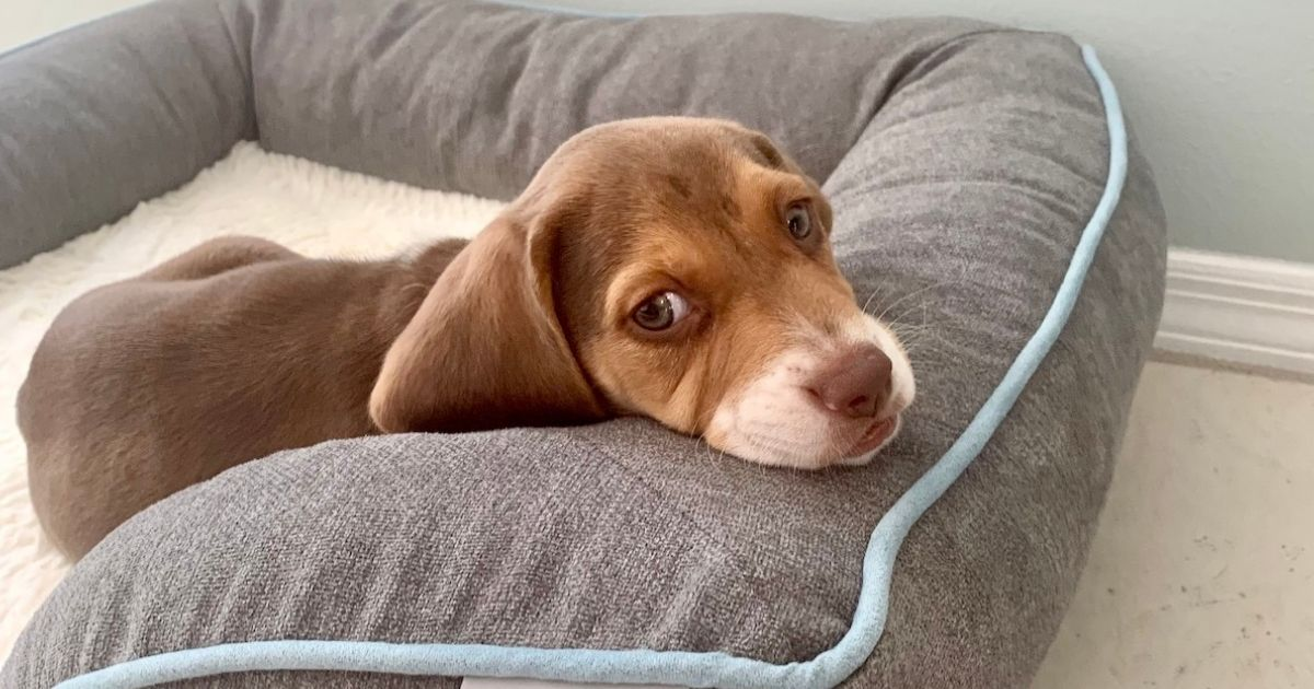 Beanie the Beagle Puppy